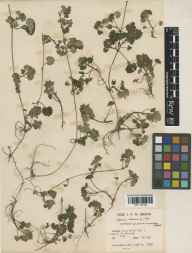 Glechoma hederacea herbarium specimen from Ponsanooth, VC1 West Cornwall in 1937 by John Patrick Micklethwait Brenan.