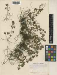 Glechoma hederacea herbarium specimen from Wisley, VC17 Surrey in 1946 by John Patrick Micklethwait Brenan.