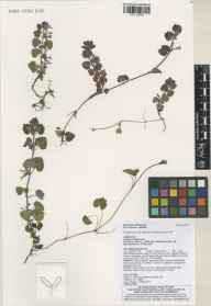 Glechoma hederacea herbarium specimen from Lewes, VC14 East Sussex in 2012 by S Miles.