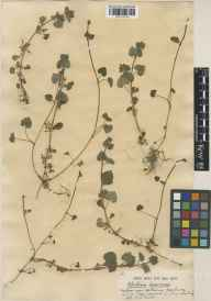 Glechoma hederacea herbarium specimen from Kew Gardens, VC17 Surrey in 1919 by William Bertram Turrill.