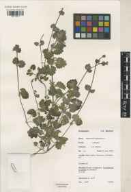Glechoma hederacea herbarium specimen from Bone, VC1 West Cornwall in 1974 by John Kenneth Morton.