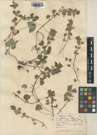 Glechoma hederacea herbarium specimen from West Clandon, VC17 Surrey in 1933 by William Bertram Turrill.