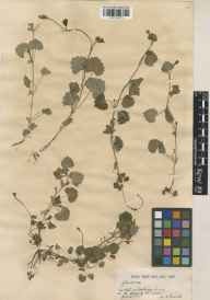 Glechoma hederacea herbarium specimen from Box Hill, VC17 Surrey in 1919 by William Bertram Turrill.