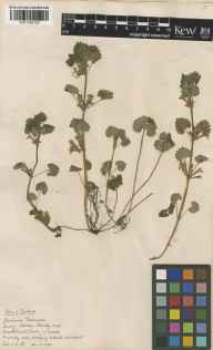 Glechoma hederacea herbarium specimen from Hackhurst Downs, VC17 Surrey in 1928 by Charles Edward Hubbard.