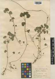 Glechoma hederacea herbarium specimen from Chenies, VC20,VC24 in 1927 by William Bertram Turrill.