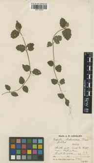 Glechoma hederacea herbarium specimen from Alfriston, VC14 East Sussex in 1931 by Mr Job Edward Lousley.