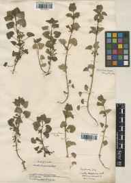 Glechoma hederacea herbarium specimen from Culham, VC22 Berkshire in 1886 by J Fraser.