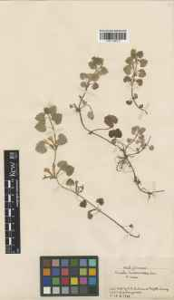 Glechoma hederacea herbarium specimen from Reigate, VC17 Surrey by Mrs Mary Louisa Wedgwood.