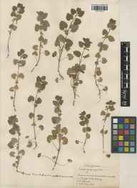 Glechoma hederacea herbarium specimen from Kingston upon Thames, VC17 Surrey in 1929 by J Fraser.