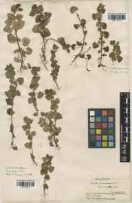 Glechoma hederacea herbarium specimen from Eynsford, VC16 West Kent in 1888 by J Fraser.