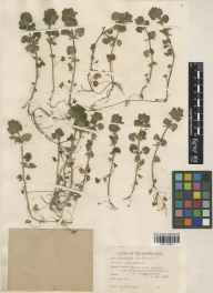 Glechoma hederacea herbarium specimen from Kiddington, VC23 Oxfordshire in 1942 by William Bertram Turrill.