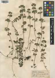 Glechoma hederacea herbarium specimen from Box Hill, VC17 Surrey in 1932 by William Bertram Turrill.