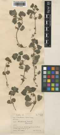 Glechoma hederacea herbarium specimen from Stocklinch, VC5 South Somerset in 1931 by E A Allen.