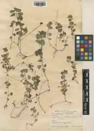 Glechoma hederacea herbarium specimen from Richmond Park, VC17 Surrey in 1930 by Richmond Park Committee.
