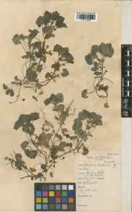 Glechoma hederacea herbarium specimen from Blenheim Park, VC23 Oxfordshire in 1935 by William Bertram Turrill.