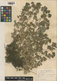 Glechoma hederacea herbarium specimen from Burnham, VC24 Buckinghamshire in 1935 by William Bertram Turrill.