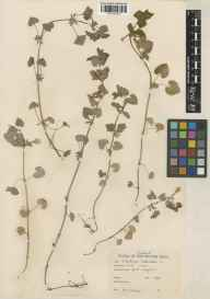 Glechoma hederacea herbarium specimen from Port Laoighise, VCH14 Laois in 1948 by Mrs  Odlum.