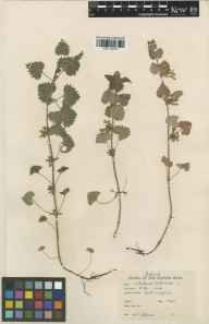 Glechoma hederacea herbarium specimen from Port Laoise, VCH14 Laois in 1948 by Mrs  Odlum.