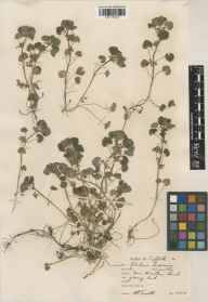 Glechoma hederacea herbarium specimen from Wrentham, VC25 East Suffolk in 1938 by William Bertram Turrill.