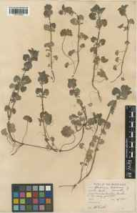 Glechoma hederacea herbarium specimen from Burnham Beeches, VC24 Buckinghamshire in 1935 by William Bertram Turrill.