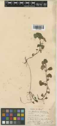 Glechoma hederacea herbarium specimen from Shoreham, VC16 West Kent in 1926 by William Bertram Turrill.
