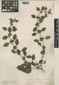 Melissa officinalis herbarium specimen from Boscastle, VC2 East Cornwall in 1915 by Mr Edgar Thurston.