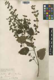Melissa officinalis herbarium specimen from Saint Mabyn, Lemail Mill, VC2 East Cornwall in 1916 by Mr Edgar Thurston.