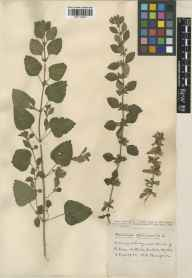 Melissa officinalis herbarium specimen from Hotwells, VC34 West Gloucestershire in 1933 by Mr Harold Stuart Thompson.
