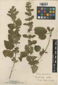 Melissa officinalis herbarium specimen from Isle of Purbeck, VC9 Dorset in 1901.