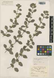 Melissa officinalis herbarium specimen from Catford, VC16 West Kent in 1908 by Benjamin Thompson Lowne jnr.