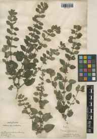Melissa officinalis herbarium specimen from Ham, VC17 Surrey in 1894 by J Fraser.