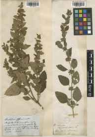 Melissa officinalis herbarium specimen from Henfield, VC13 West Sussex by Mr William Borrer.