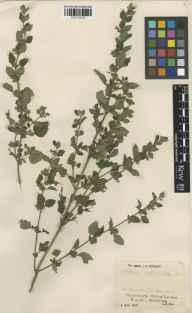 Melissa officinalis herbarium specimen from Saint Dunstan in the East, VC21 Middlesex in 1945 by Mr Job Edward Lousley.
