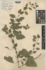 Melissa officinalis herbarium specimen from Monks Risborough, VC24 Buckinghamshire in 1910 by Mrs Frances Louisa Foord-Kelcey.