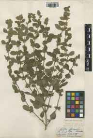 Melissa officinalis herbarium specimen from Cambridge, VC29 Cambridgeshire in 1853.