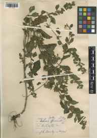 Melissa officinalis herbarium specimen from Bridlington, VC61 South-east Yorkshire in 1926 by J R Bramley.