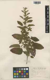 Melissa officinalis herbarium specimen from Berriew, VC47 Montgomeryshire in 1937 by Frederick Kirkwood Makins.