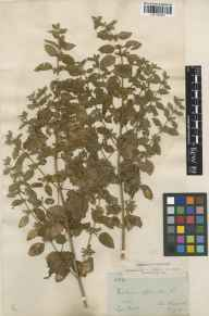 Melissa officinalis herbarium specimen from Liss, VC12 North Hampshire in 1902 by James Sykes Gamble.