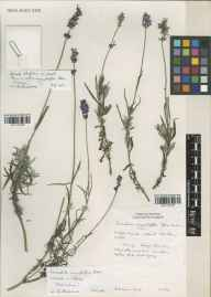 Lavandula angustifolia herbarium specimen from Norfolk Lavender, Heacham, VC28 West Norfolk in 1993 by Susyn Andrews.