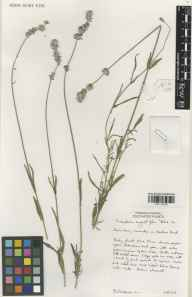 Lavandula angustifolia herbarium specimen from Downderry Nursery, Hadlow, VC16 West Kent in 2003 by Susyn Andrews.