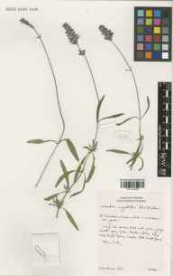 Lavandula angustifolia herbarium specimen from Downderry Nursery, Hadlow, VC16 West Kent in 2000 by Susyn Andrews.