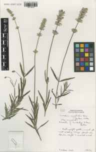 Lavandula angustifolia herbarium specimen from Cambridge Botanic Gardens, VC29 Cambridgeshire in 2002 by Susyn Andrews.