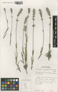 Lavandula angustifolia herbarium specimen from Christchurch in 2003 by Susyn Andrews.