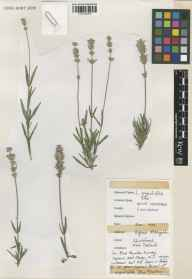Lavandula angustifolia herbarium specimen from Christchurch in 1995 by Virginia McNaughton.