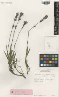 Lavandula angustifolia herbarium specimen from Glasnevin, VCH21 Co. Dublin by Ernest Charles Nelson.