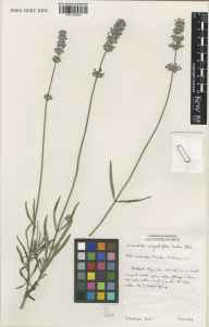 Lavandula angustifolia herbarium specimen from Wisley, VC17 Surrey in 1997 by Susyn Andrews.