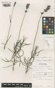 Lavandula angustifolia herbarium specimen from Kew, VC17 Surrey in 1993 by Susyn Andrews.