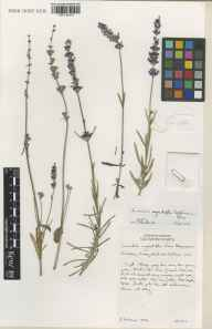 Lavandula angustifolia herbarium specimen from Downderry Nursery, Hadlow, VC16 West Kent in 2001 by Susyn Andrews.