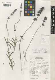 Lavandula angustifolia herbarium specimen from Saint Brelade, Jersey, VC113 Channel Islands in 2001 by Susyn Andrews.