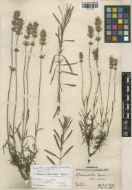 Lavandula angustifolia herbarium specimen from Kew Gardens, VC17 Surrey in 1905 by William Jackson Bean.